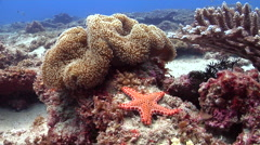 Vermillion seastar on shallow coral reef, Pentagonaster dubeni, HD, UP20344 Stock Footage