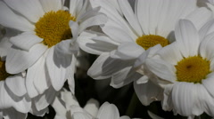 Chamomile - Camomile flower bouquet, close up view - stock footage