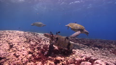 Brown surgeonfish cleaning and being cleaned on cleaning station, Acanthurus Stock Footage