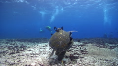 Green turtle cleaning and being cleaned on cleaning station, Chelonia mydas, HD, Stock Footage