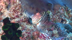 Spotted hawkfish looking around, Cirrhitichthys aprinus, HD, UP20382 Stock Footage