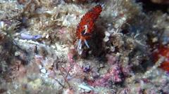 Blacktip orange cerrata slug, Favorinus tsuruganus, HD, UP20388 Stock Footage