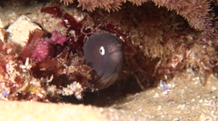 White-eyed moray breathing at night, Gymnothorax thyrsoideus, HD, UP20395 Stock Footage