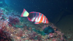 Harlequin tuskfish swimming, Choerodon fasciatus, HD, UP20420 Stock Footage