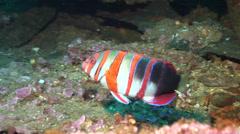 Harlequin tuskfish swimming, Choerodon fasciatus, HD, UP20425 Stock Footage