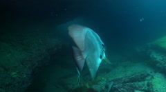 Blunthead batfish cleaning and being cleaned in cavern, Platax teira, HD, Stock Footage