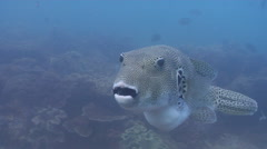 Star pufferfish hovering, Arothron stellatus, HD, UP20484 Stock Footage