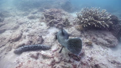 Star pufferfish feeding on shallow coral reef, Arothron stellatus, HD, UP20488 Stock Footage