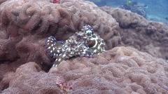 Common reef octopus walking, Octopus cyanea, HD, UP20535 Stock Footage