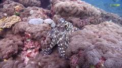Common reef octopus walking, Octopus cyanea, HD, UP20536 Stock Footage
