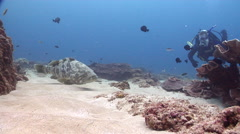 Orange-spotted grouper on shallow coral reef, Epinephelus coioides, HD, UP20549 Stock Footage