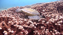 Green turtle feeding, Chelonia mydas, HD, UP20561 Stock Footage