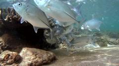 A large school of fish Bigeye trevally (Caranx sexfasciatus) Stock Footage