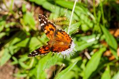 The small tortoiseshell (Aglais urticae) butterfly collect pollen on flower. - stock photo