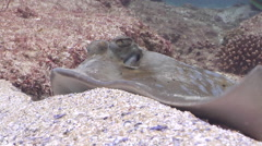 Kuhl's Ray feeding, Neotrygon kuhlii, HD, UP20572 Stock Footage