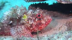 Red scorpionfish, Scorpaena cardinalis, HD, UP20583 Stock Footage
