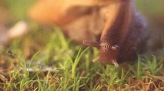 Snail Achatina crawling Stock Footage