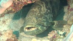 Orange-spotted grouper looking around, Epinephelus coioides, HD, UP20587 Stock Footage