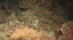 Painted spiny lobster walking at night, Panulirus versicolor, HD, UP20591 Stock Footage