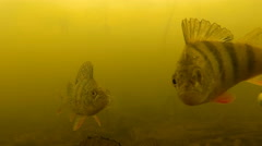Perches under water Stock Footage