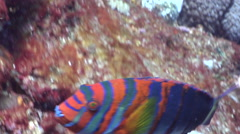 Harlequin tuskfish swimming, Choerodon fasciatus, HD, UP20624 Stock Footage