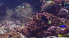Harlequin tuskfish swimming, Choerodon fasciatus, HD, UP20615 Stock Footage