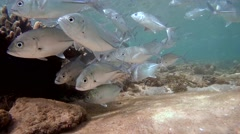 A large school of fish Bigeye trevally (Caranx sexfasciatus) - stock footage