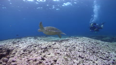 Green turtle swimming on cleaning station, Chelonia mydas, HD, UP20640 Stock Footage