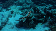 Swimming nudibranch swimming at dusk, Bornella anguilla, HD, UP20643 Stock Footage