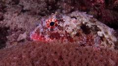 Red scorpionfish at night, Scorpaena cardinalis, HD, UP20667 Stock Footage