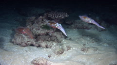 Reef squid swimming at night, Sepioteuthis lessoniana, HD, UP20674 Stock Footage