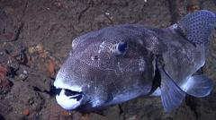 Star pufferfish hovering, Arothron stellatus, HD, UP20687 Stock Footage