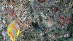 Beaked coralfish feeding, Chelmon rostratus, HD, UP20711 Stock Footage