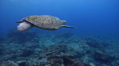 Green turtle swimming, Chelonia mydas, HD, UP20727 Stock Footage