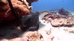 Cowtail stingray swimming, Pastinachus sephen, HD, UP20729 Stock Footage