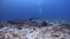 Cowtail stingray swimming on shallow coral reef, Pastinachus sephen, HD, UP20730 Stock Footage