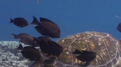 Brown surgeonfish feeding and schooling on cleaning station, Acanthurus - stock footage