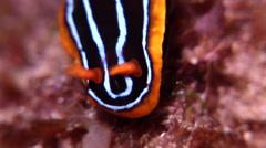 Kuiter's black white orange slug swaying at night, Chromodoris kuiteri, HD, Stock Footage