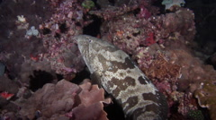 Orange-spotted grouper courting at night, Epinephelus coioides, HD, UP20744 Stock Footage