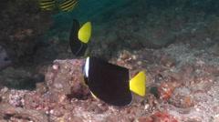 Queensland yellowtail angelfish feeding, Chaetodontoplus meredithi, HD, UP20759 Stock Footage