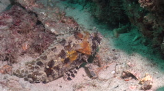 False stonefish, Centrogenys vaigiensis, HD, UP20764 Stock Footage