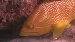 Maori grouper looking around, Epinephelus undulatostriatus, HD, UP20772 Stock Footage