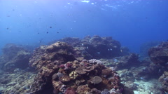 Ocean scenery lots of wrasses, on shallow coral reef, HD, UP20780 Stock Footage
