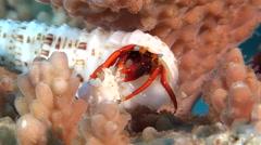 Blue eyed orange hermit crab feeding, Calcinus gaimardii, HD, UP20795 - stock footage