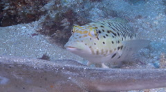 Speckled sandperch looking around, Parapercis hexophtalma, HD, UP20798 Stock Footage