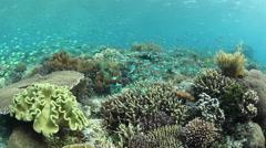 Blue-Green Damselfish Spawning Stock Footage