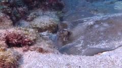 Kuhl's Ray feeding, Neotrygon kuhlii, HD, UP20799 Stock Footage