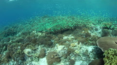 Spawning Damselfish in Indonesia Stock Footage