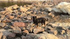 Black dog runs on stones Stock Footage