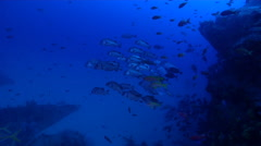Humpback sweetlips and schooling on deep coral reef, Plectorhinchus gibbosus, Stock Footage